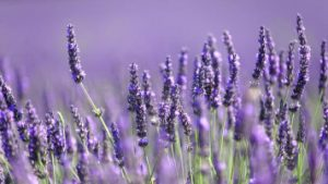 Read more about the article Lavender